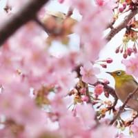 満開の桜と小鳥