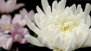 白い菊の花・仏花